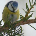 E15: Človek ovplyvnil evolúciu sýkoriek, zistili ornitológovia