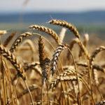 Rusko, ktoré sa donedávna takmer nezúčastnilo svetového trhu s obilím, sa stáva významným hráčom a vytesňuje Západ