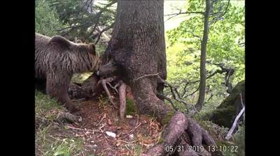 Bears in the Mala Fatra Mountains, Slovakia Credit Vlado Trulik Medvede v Malej Fatre…